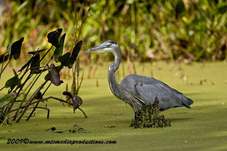 Blue Heron Picture-435