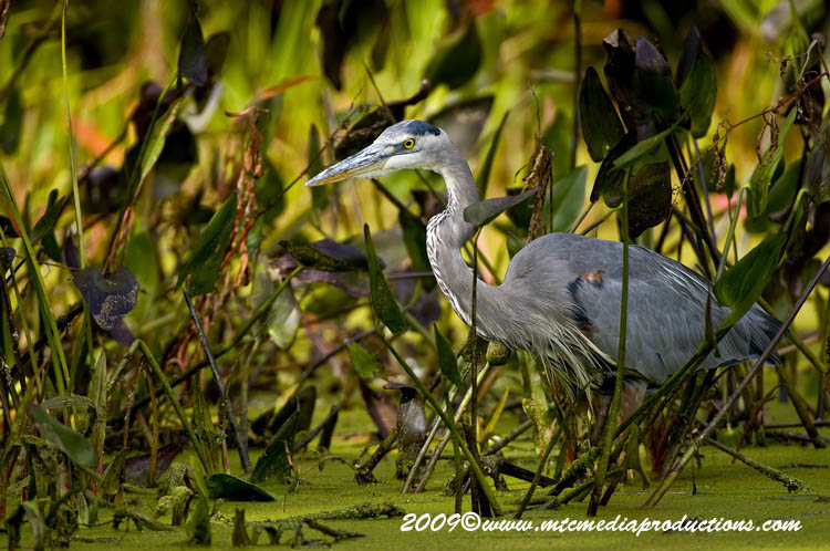 Blue Heron Picture-436
