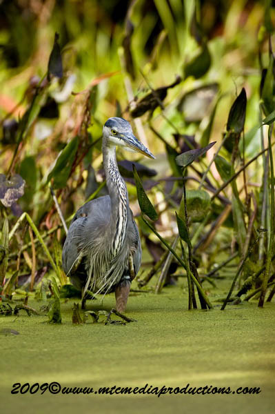 Blue Heron Picture-438