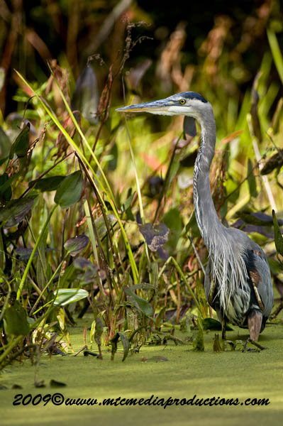 Blue Heron Picture-439