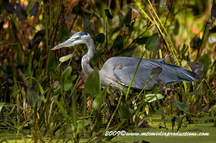 Blue Heron Picture-440
