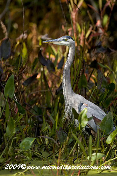 Blue Heron Picture-442