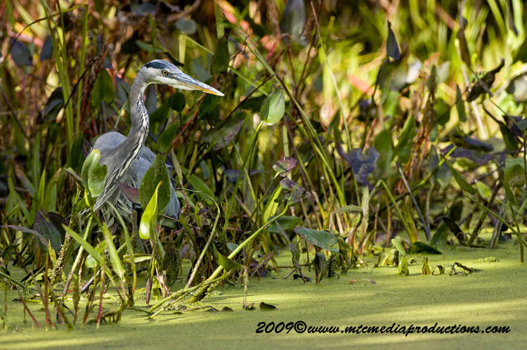 Blue Heron Picture-443
