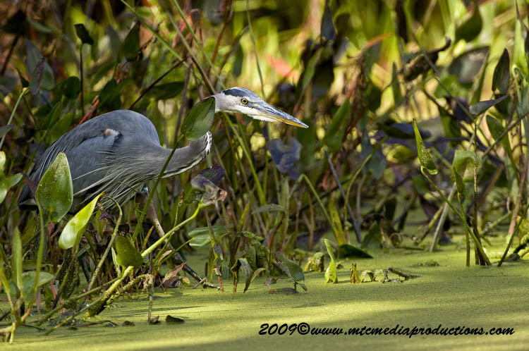Blue Heron Picture-444