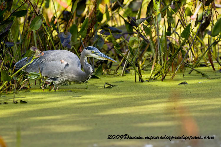 Blue Heron Picture-445