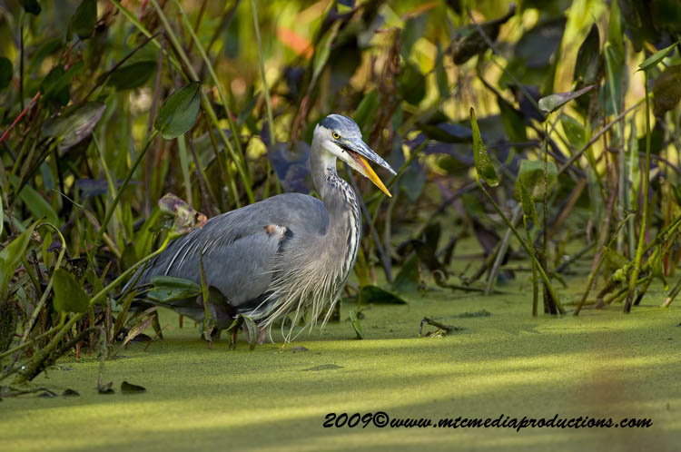 Blue Heron Picture-446