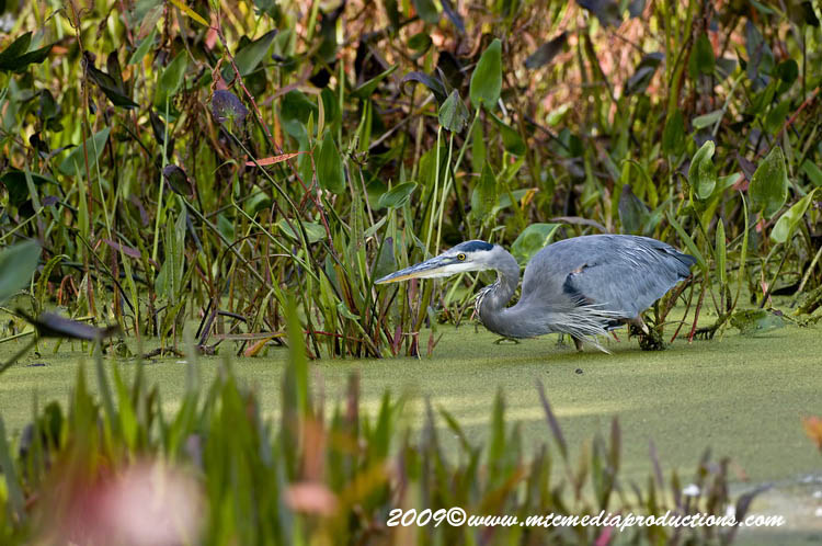 Blue Heron Picture-447