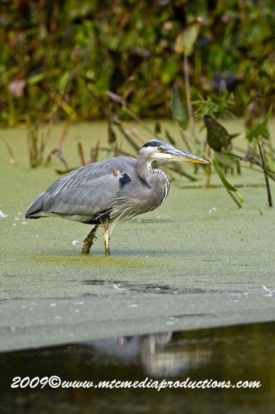 Blue Heron Picture-448