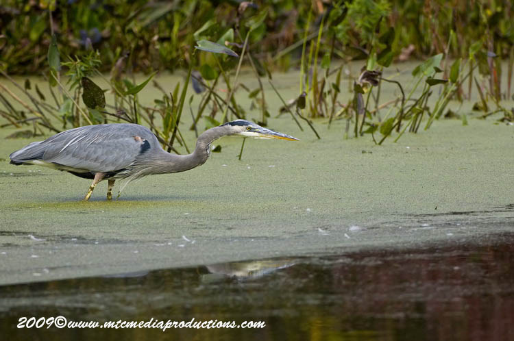 Blue Heron Picture-450