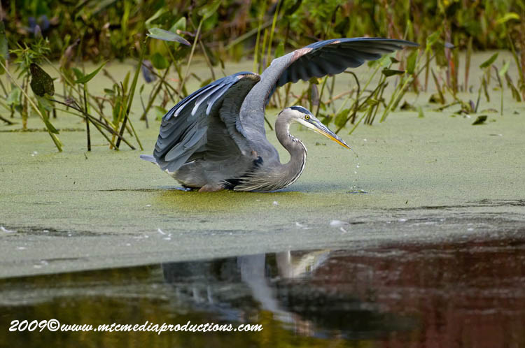 Blue Heron Picture-451