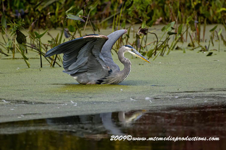 Blue Heron Picture-452