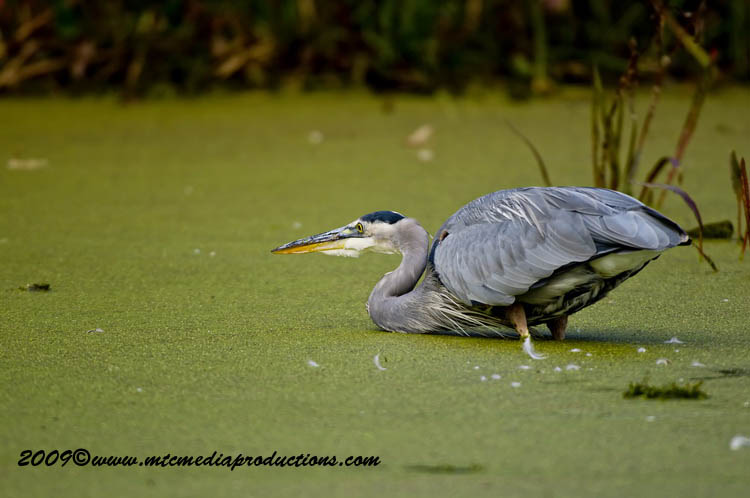 Blue Heron Picture-453