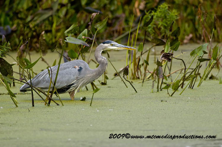 Blue Heron Picture-454