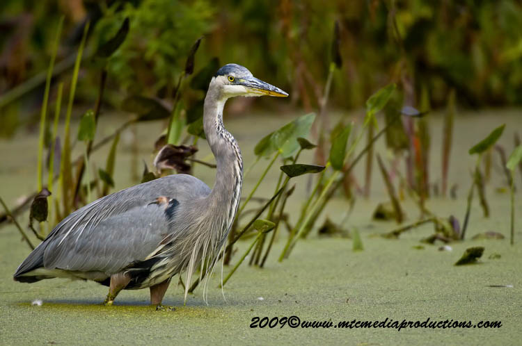 Blue Heron Picture-455