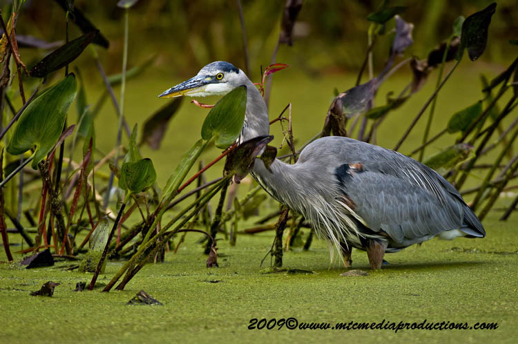 Blue Heron Picture-456