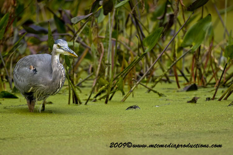 Blue Heron Picture-457