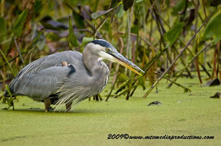 Blue Heron Picture-458