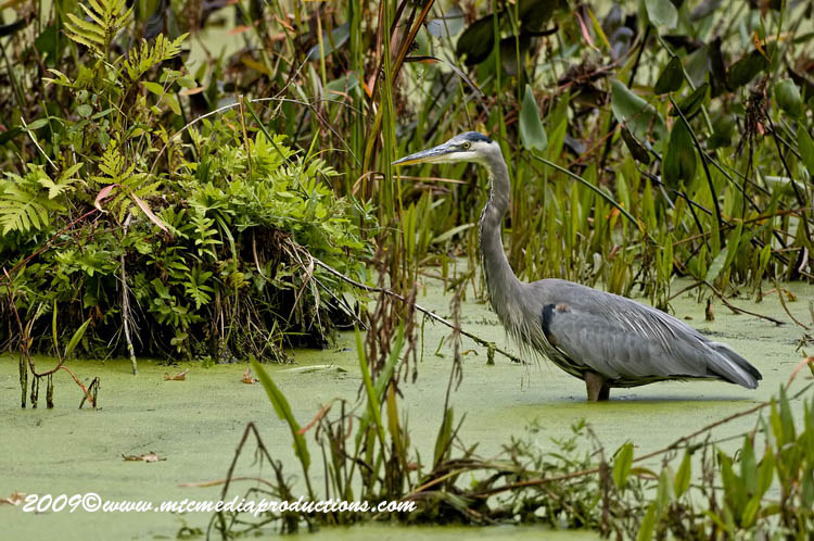 Blue Heron Picture-459