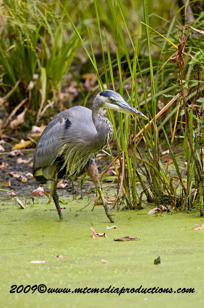 Blue Heron Picture-462