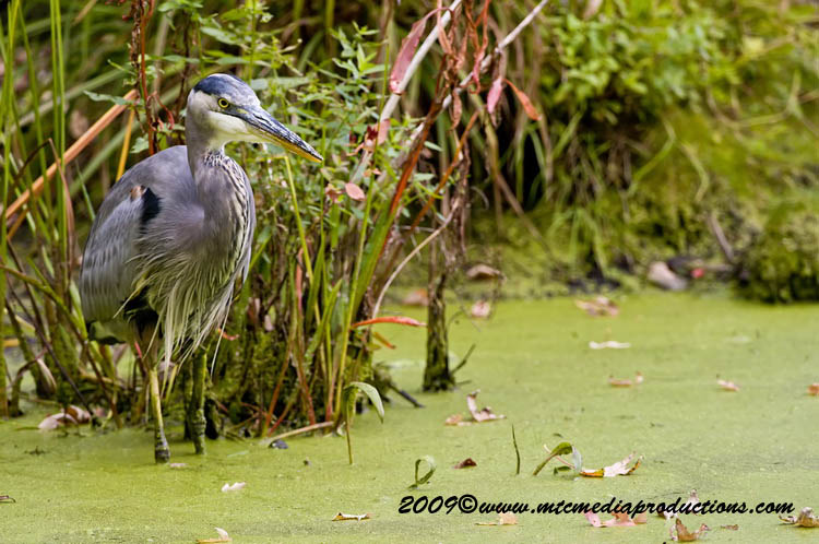 Blue Heron Picture-463