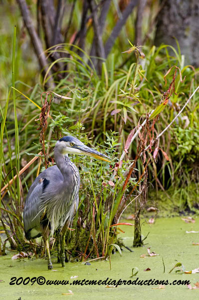 Blue Heron Picture-464