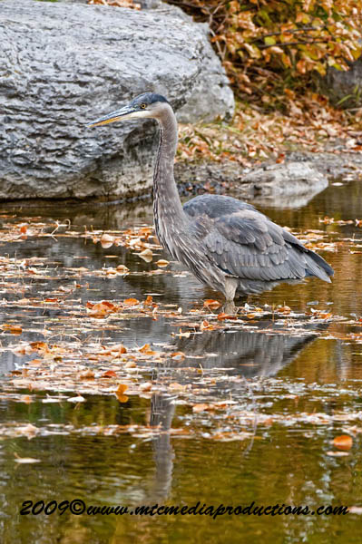 Blue Heron Picture-465