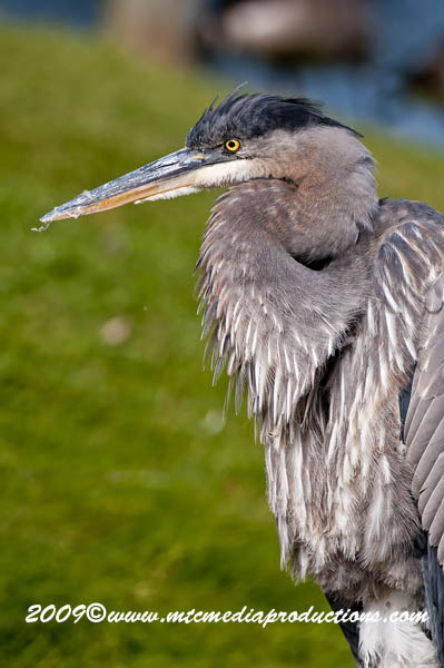 Blue Heron Picture-472