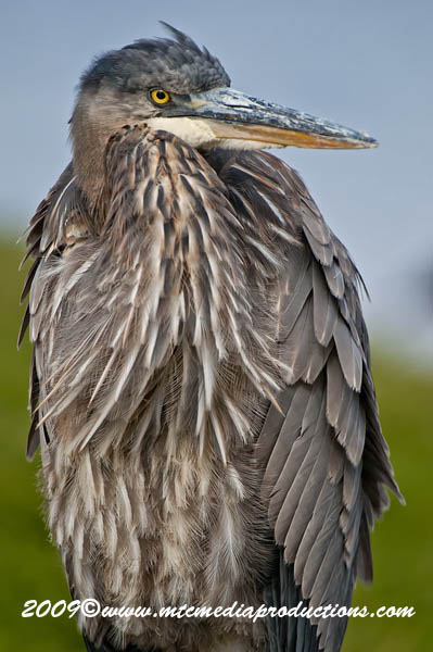Blue Heron Picture-479