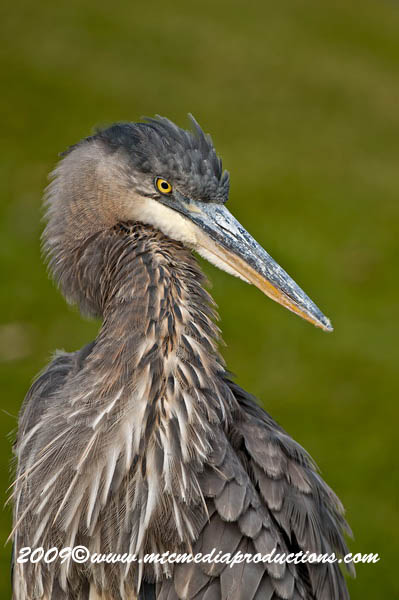 Blue Heron Picture-483