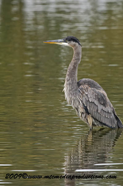 Blue Heron Picture-487