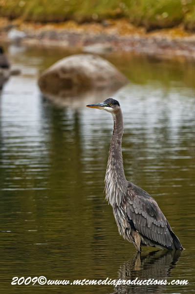 Blue Heron Picture-488