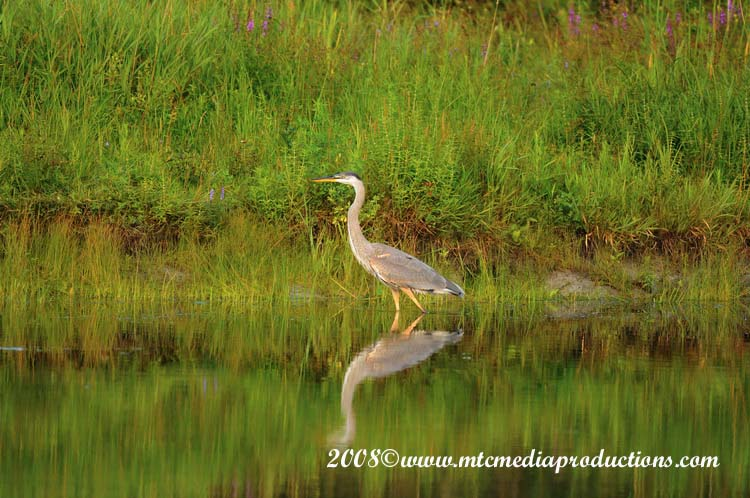 Blue Heron Picture-69