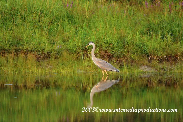 Blue Heron Picture-70