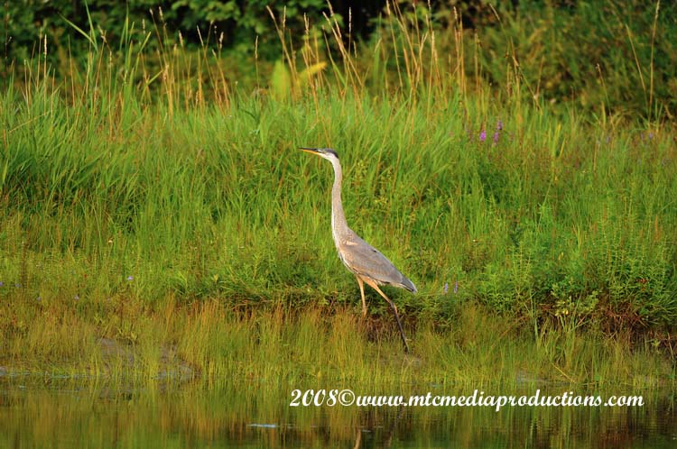 Blue Heron Picture-71
