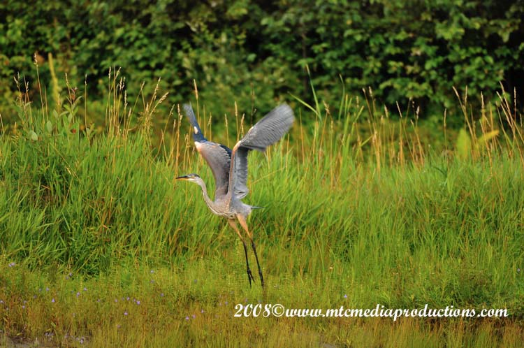 Blue Heron Picture-72