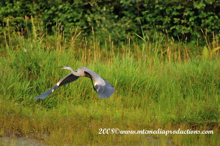 Blue Heron Picture-73