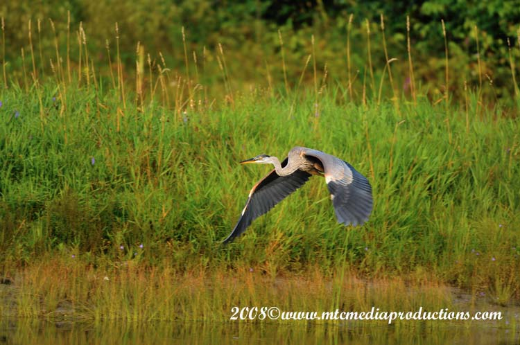 Blue Heron Picture-74