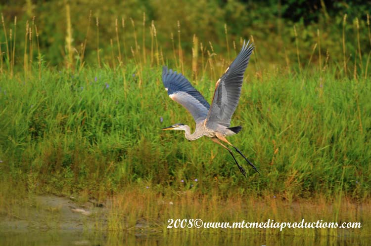 Blue Heron Picture-75