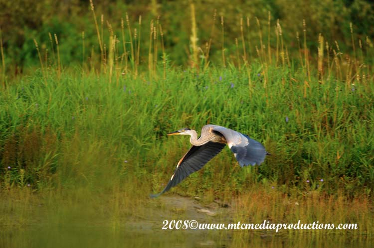 Blue Heron Picture-76