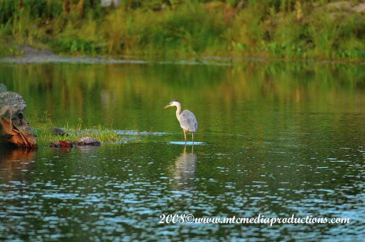 Blue Heron Picture-77