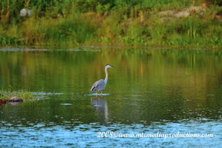 Blue Heron Picture-78