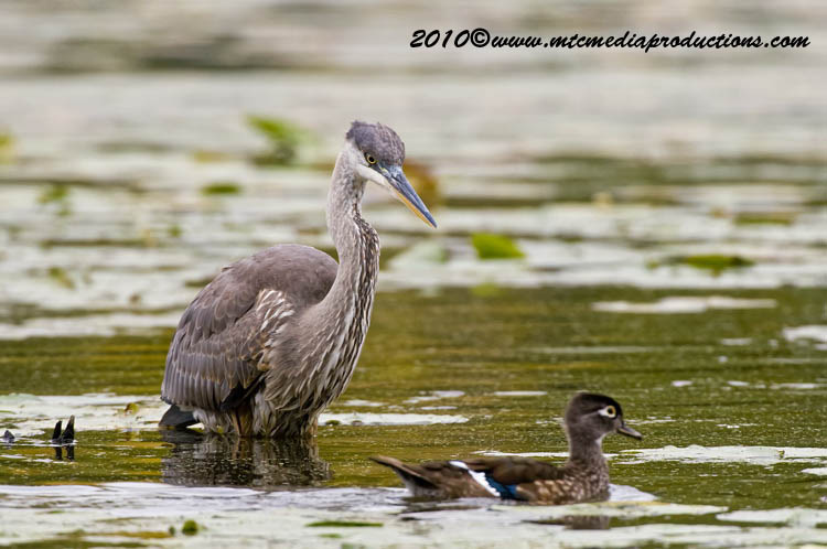 Blue Heron Picture-788