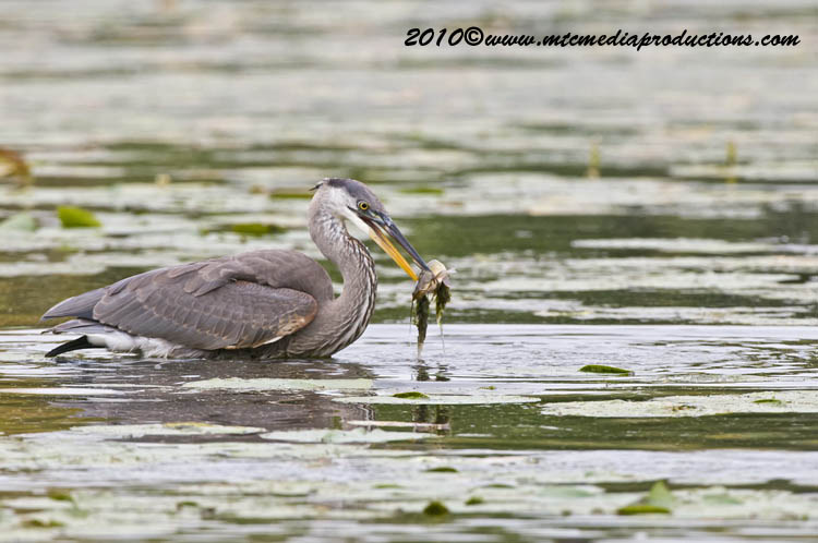 Blue Heron Picture-789