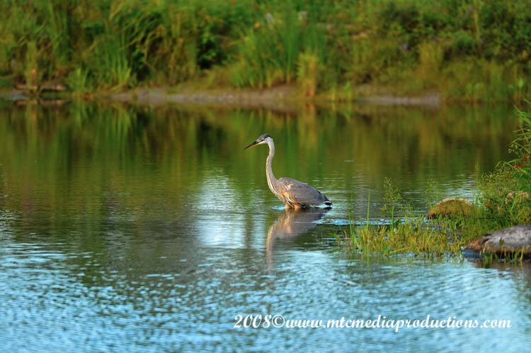 Blue Heron Picture-79