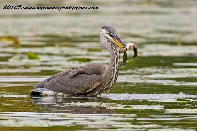 Blue Heron Picture-790