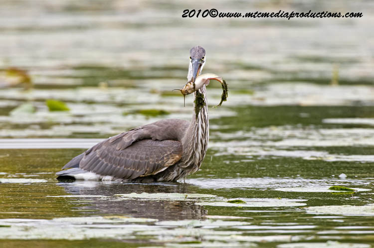 Blue Heron Picture-791