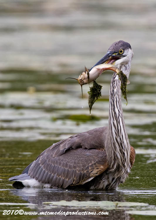 Blue Heron Picture-792