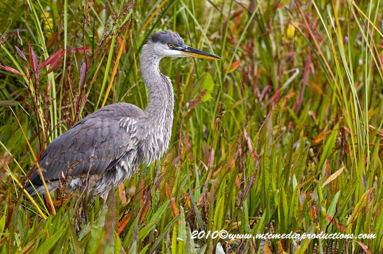 Blue Heron Picture-793