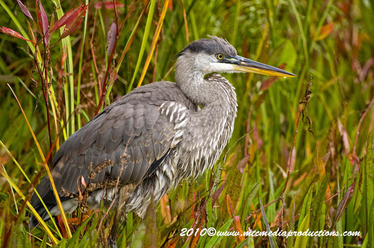 Blue Heron Picture-794