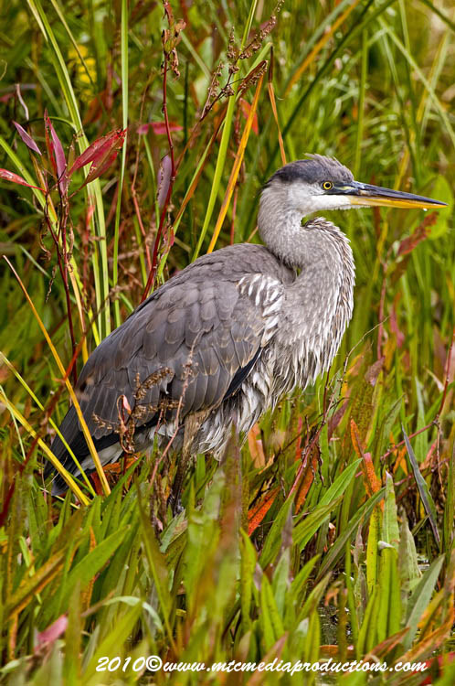 Blue Heron Picture-795